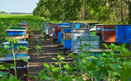 Beehives boxes in the field of honey plants Stock Photos