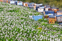 Beehives At Clover Field Edge. The man made beehives use bees to pollinate crops and make honey in this apiary Royalty Free Stock Images