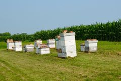 Beehives In A Cornfield Stock Images