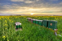Beehives in a field. Beehives in a Rapeseed field at sunset in the Province of Groningen, Netherlands stock photo