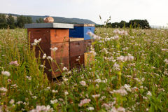 Beehives in a flower field. Beehives are visible standing in the middle of a flower field stock images