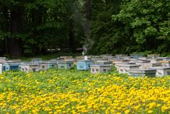 Beehives and flowering dandelions. Wooden bee houses. In the middle - smoker is a special device for fumigating bees with smoke. Rustic style royalty free stock photo