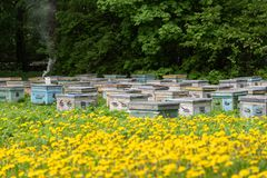 Beehives and flowering dandelions. Wooden bee houses. Rustic style stock image