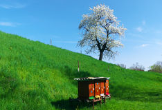 Beehives. On the hill in front of Cherry tree and blue sky Stock Photography