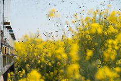 Beehives at oilseed rape fields Stock Photography