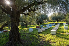 Beehives and olive trees. Beehives in a field with olive trees in Peloponnese, Greece royalty free stock photos