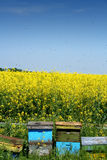 Beehives in the open. Colored beehives next to a canola field with bees flying around them Royalty Free Stock Photos