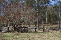 Beehives in a paddock with red flowering tree stock image