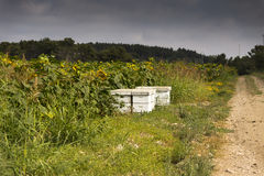 Beehives sunflower field stock images
