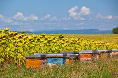 Beehives on the sunflower field in Provence, France Stock Image
