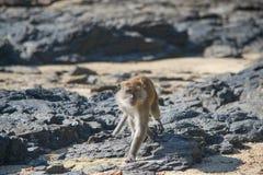 Beeindruckender Affe, der auf den Strand auf einer unbewohnten Insel geht Lizenzfreies Stockbild