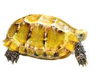 Beeindruckte Schildkröte Lizenzfreie Stockbilder