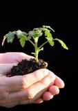 beeing的被种植的幼木蕃茄 库存图片