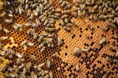 Beekeeper держа рамку сота с работая пчелами внешний Стоковые Изображения