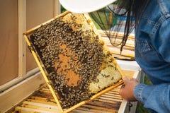Beekeeper держа рамку сота с работая пчелами внешний Стоковое Фото