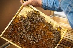 Beekeeper держа рамку сота с работая пчелами внешний Стоковое Изображение RF