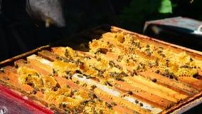 Beekeeper курит дым пчел - управляет прочь пчелами сток-видео