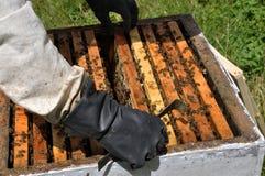 Beekeeper принимает рамку от hive_4 Стоковое Изображение