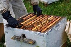 Beekeeper принимает рамку от hive_6 Стоковая Фотография RF