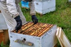 Beekeeper принимает рамку от hive_7 Стоковое Изображение RF