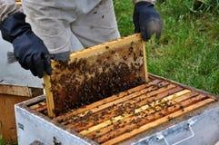 Beekeeper принимает рамку от hive_9 Стоковое фото RF