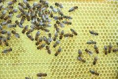 Beekeeper работая в его пасеке держа рамку сота Стоковое Изображение RF