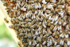 Beekeeper работая в его пасеке держа рамку сота Стоковые Изображения