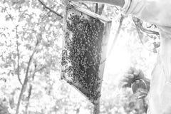 Beekeeper работая в его пасеке держа рамку сота Стоковые Фотографии RF