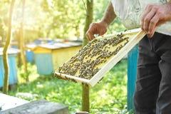 Beekeeper работая в его пасеке держа рамку сота Стоковые Изображения RF