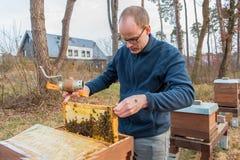 Beekeeper смотрит после его колонии пчелы путем поднимать рамку для того чтобы увидеть t стоковые фото