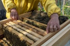 A man pulls out of the hive frame with honey and bees. The beekeeper in the apiary. Pulls the frame out of the hive. Bees on the honeycomb. A beekeeper taking a stock image
