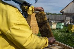 A man pulls out of the hive frame with honey and bees. The beekeeper in the apiary. Pulls the frame out of the hive. Bees on the honeycomb. A beekeeper taking a royalty free stock photo