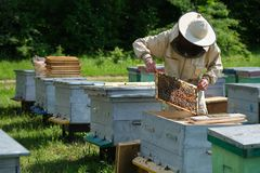 Beekeeper on apiary. Beekeeper is working with bees and beehives on the apiary. stock photography