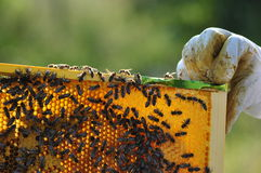Beekeeper. Beautiful beehive and bee located in the forest Royalty Free Stock Images