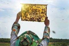Bee-keeper with a bee frame checks the honey crop. A beekeeper with a bee-frame in his hands. excellent yield of honey stock photography