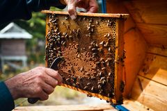 Beekeeper with beehive colony frame. Beekeeper taking care of beehive colony frame, with bees flying around. Old style organic breeding Royalty Free Stock Photo
