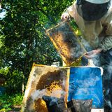 Beekeeper at the apiary. Beekeeper and bees in the apiary stock photo