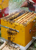 The beekeeper blows smoke on frames with bees in a hive Royalty Free Stock Photography