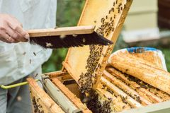 Beekeeper brushing bees from honeycomb. With brush Royalty Free Stock Photo