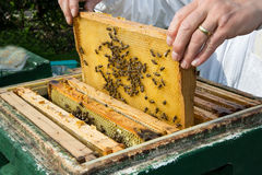 Beekeeper caring for bee colony Stock Image