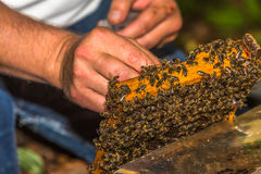 Beekeeper catches bee queen  for tagging Stock Photo