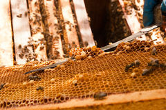 Beekeeper checking a beehive to ensure health of the bee colony. Royalty Free Stock Photography