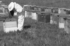 Beekeeper checking the beehives on the farm. Horizontal side view of a beekeeper in a ehite protection suit checking the honey comb in the hive Royalty Free Stock Image