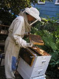 Beekeeper Checking Hive. A beekeeper checks on the status of an urban hive Stock Image