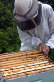 Beekeeper checking hive. Beekeeper checking the box (hive), prying up frame with bees / honey Royalty Free Stock Photo