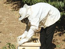Beekeeper checking hive. Beekeeper checking the box (hive), prying up frame with bees stock photos