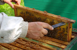 Beekeeper checking honeycomb Royalty Free Stock Photo
