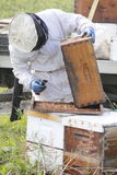 Beekeeper Collecting Honey. A Beekeeper collects honey from a man made beehive box stock image