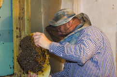 The beekeeper collects a swarm of bees. Wild bees settled in the Royalty Free Stock Images