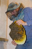 The beekeeper collects a swarm of bees. Wild bees settled in the Stock Photography